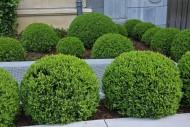 Często zastanawiamy się jaka pora roku będzie optymalna do cięcia krzewów. Jeśli wiemy, kiedy zakwita dany krzew, możemy dobrać porę przycinania.