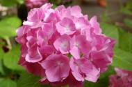 Hortensja bukietowa, nazywana też hortensją wiechowatą, kwitnie pod koniec lata.