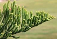 Araukaria to drzewo o szerokich, ciekawych, kłujących igłach i charakterystycznym pokroju potrafi zachwycić każdego.